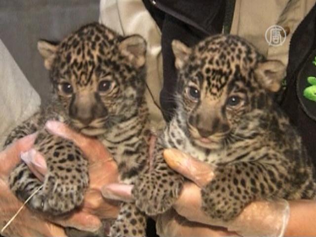 12_05_17_jaguar-cubs.jpg.