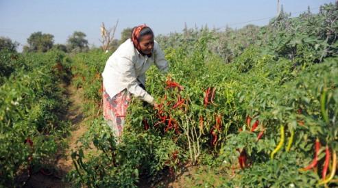 1377862201 - В Индии гибнет урожай из-за отсутствия дождя