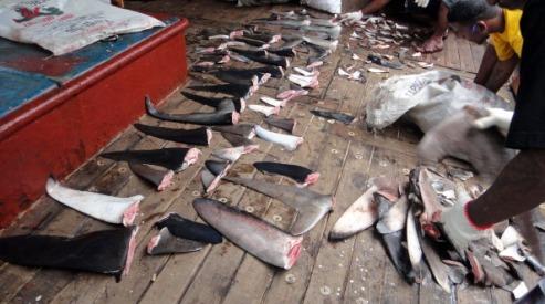 139648254 - Китай: плавники акул запретят на приемах правительства