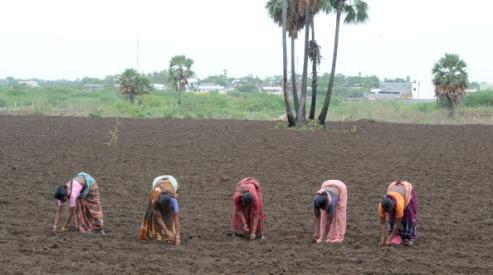 147149272 - В Индии засуха губит посевы