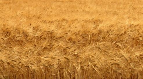 170008146 - Россия снизила экспорт пшеницы и нарастила импорт