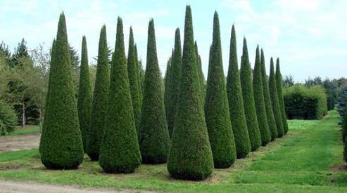 2 337 - Деревья крупномеры и туи в ландшафтном дизайне?
