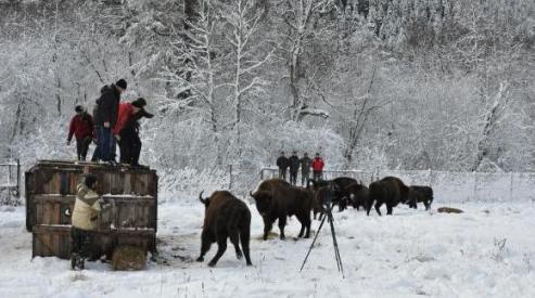 555 34 - 10 зубров поселились в заповеднике Карачаево-Черкесии