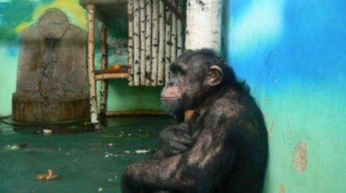 dzhonni - Шимпанзе Джонни на 16-летие получит подарок и торт