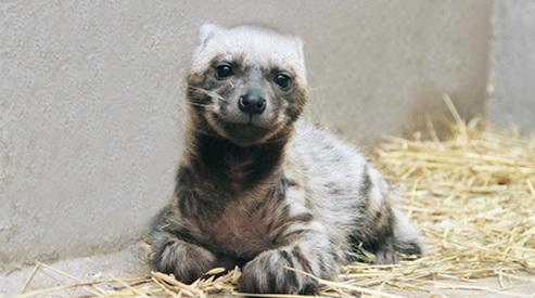 giena - В Екатеринбургском зоопарке продолжается бэби-бум