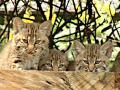 В зоопарке Мехико дебютировали редкие рысята