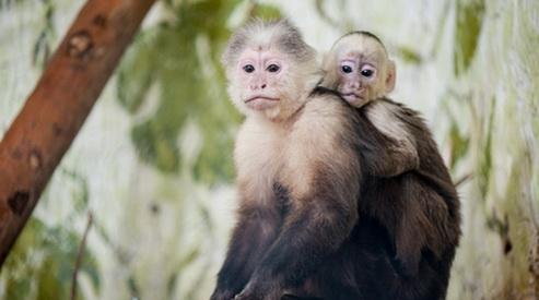 kapuciny - Детёныш капуцина родился в Екатеринбургском зоопарке