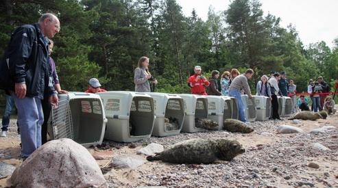 tyuleni - Спасённых от гибели тюленят выпустят в воды Финского залива