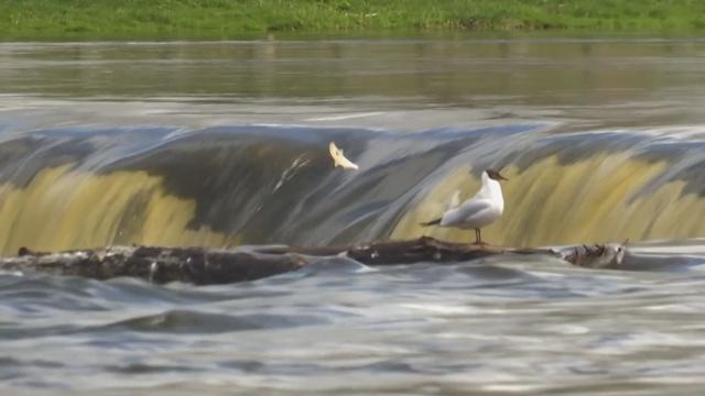 Как рыба в Латвии прыгает через водопад
