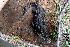 У австралийки живёт домашний крокодил