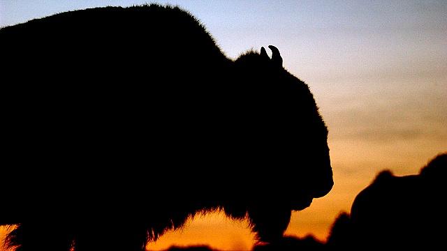 Бизон признан национальным символом США