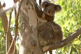 Австралия: коалы выжили после нападения собак