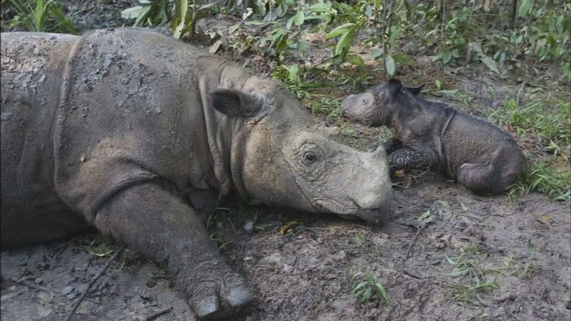 В Индонезии родился носорог вымирающего вида