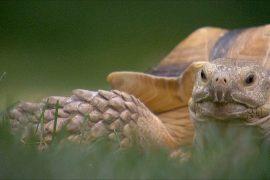 Необычная работа – выгул черепахи
