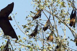 Австралийский город оккупировали летучие лисицы