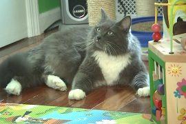 В Нью-Йорке хотят запретить удалять кошкам когти