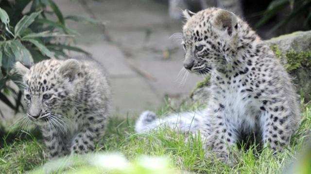 Российские экологи тревожатся за будущее леопардов