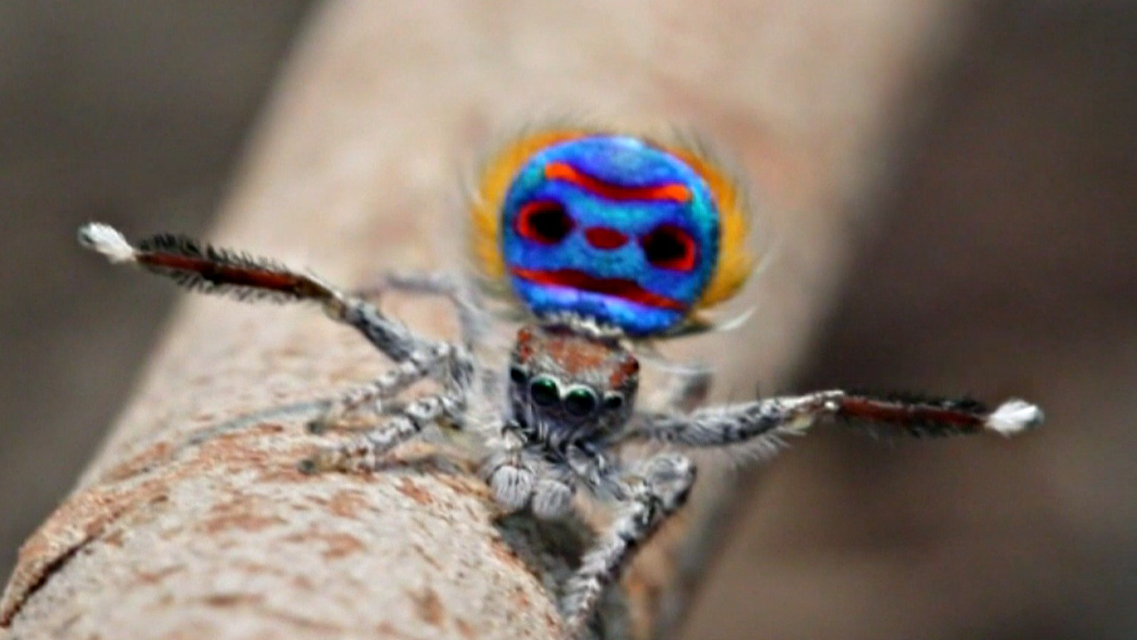 Танцующие паучки: найдено 7 новых видов