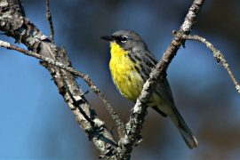 Треть видов североамериканских птиц под угрозой