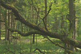 В Беловежской пуще вырубают лес из-за короедов