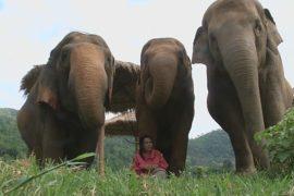В Таиланде слонам поют колыбельные