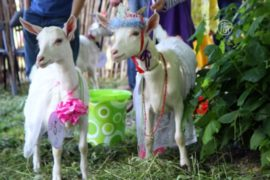 Литва: конкурс красоты среди коз
