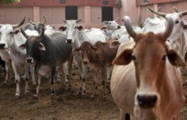 Индийские учёные нашли золото в моче коров