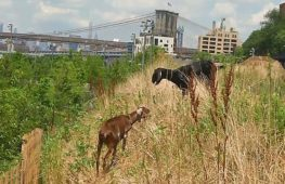 Козы избавляют нью-йоркский парк от сорняков