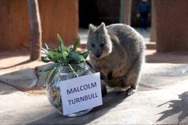 Квокка предсказала результаты выборов в Австралии