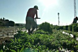 Испанские фермеры вместо овощей выращивают стевию