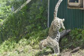 Выращенных в России леопардов отпустили на волю