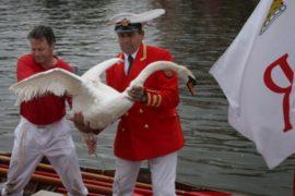 На Темзе пересчитали лебедей