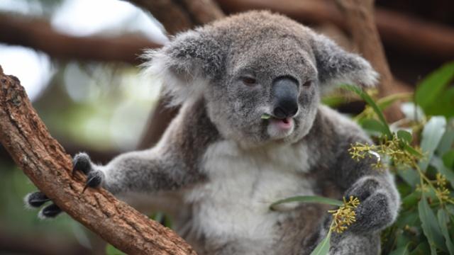 Популяция коал находится под угрозой