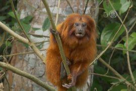 В Бразилии возрождают популяцию крохотных обезьян