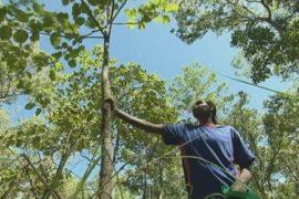 Аборигены Австралии зарабатывают на сливе какаду