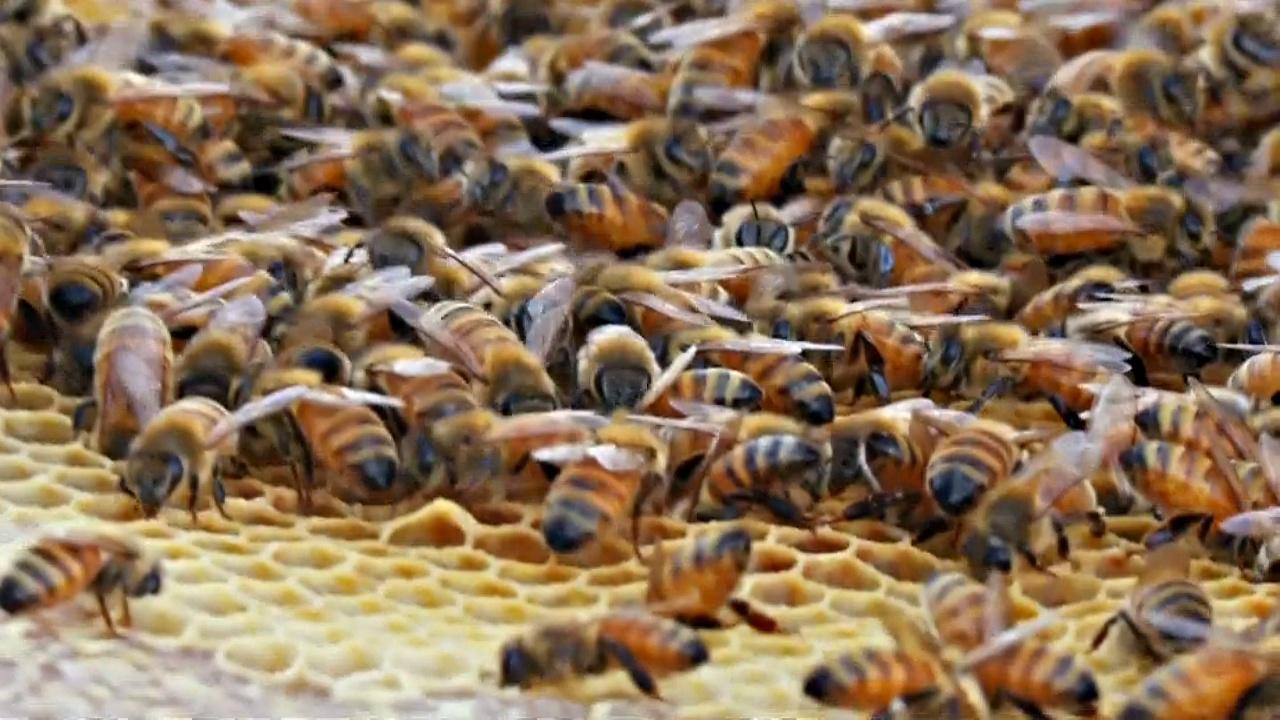 В Нью-Йорке разводят пчёл на небоскрёбах