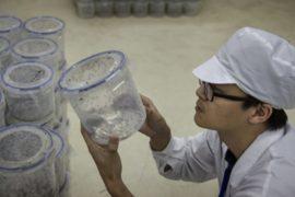 В Китае используют комаров для борьбы с вирусами