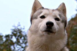 В Австралии прошли гонки на собачьих упряжках