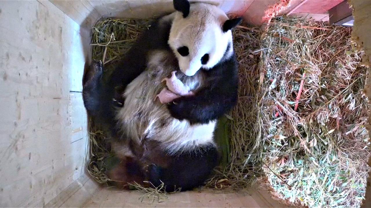 Вена: панда «скрывала» второго детеныша
