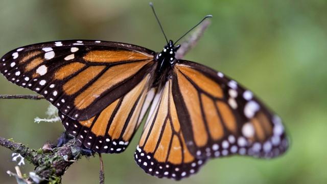 Спасение бабочек-монархов: незаконная вырубка сократилась