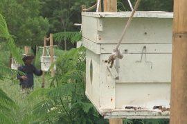 Фермеры заводят пчёл, чтобы отпугивать слонов