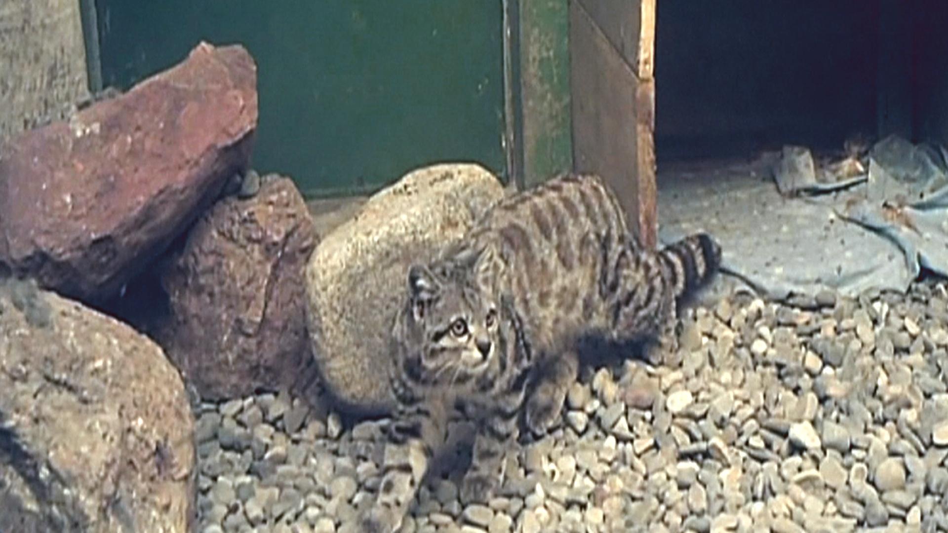 Боливия: редкую андскую кошку выпустили в дикую природу