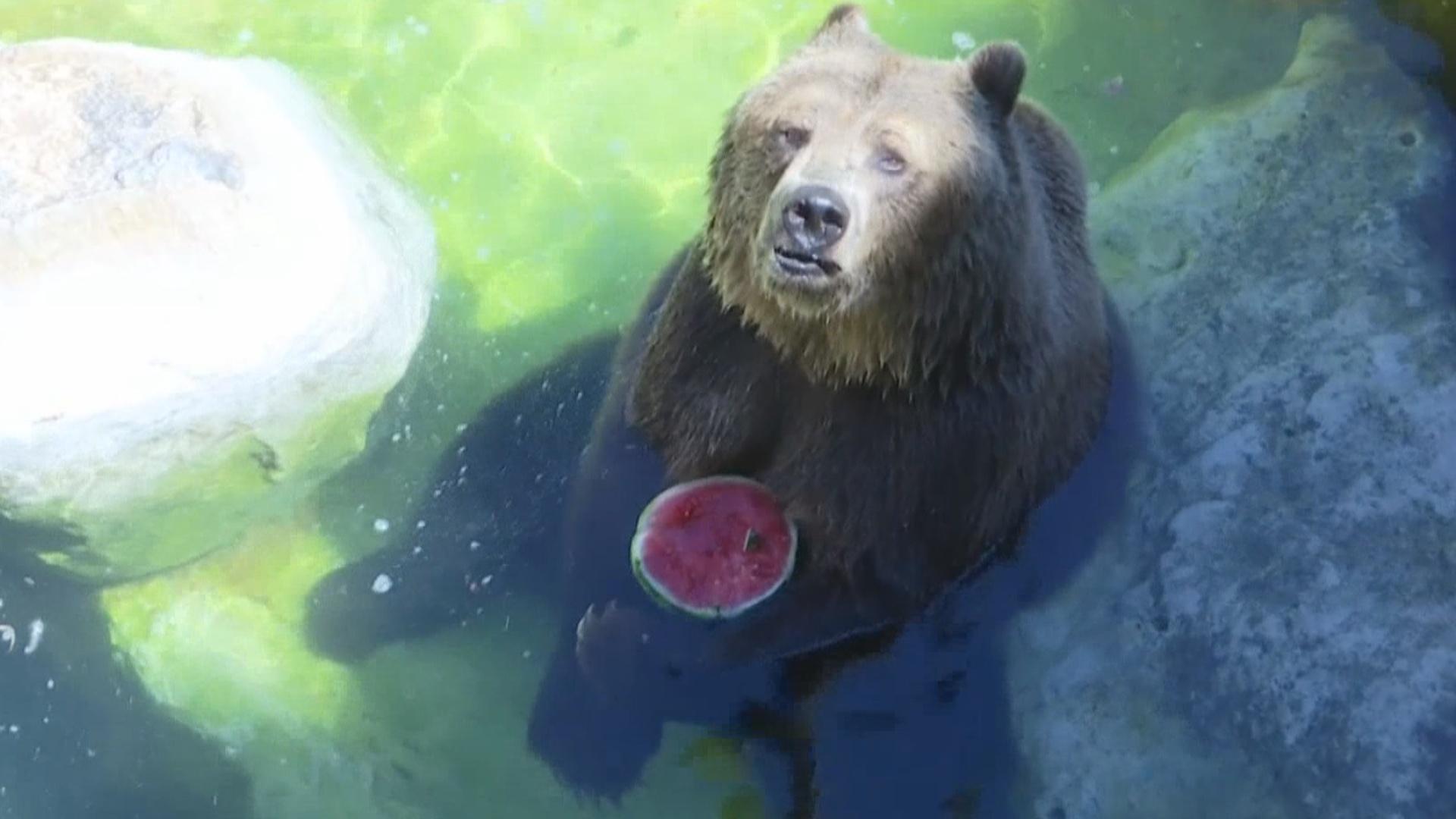 Животных в зоопарке Рима охлаждают арбузами