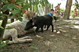 Кубинская собака приютила поросят