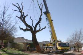 Высохшим вековым деревьям Австралии дарят вторую жизнь