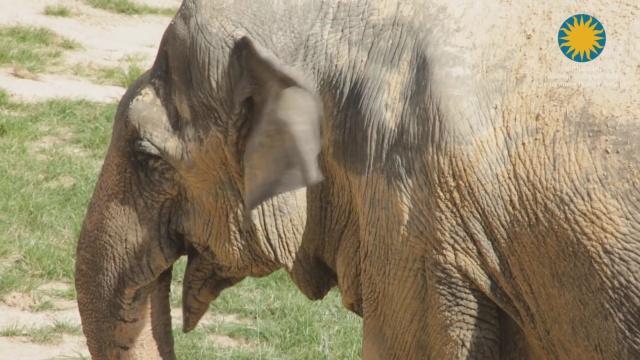 Пожилую слониху лечат от артрита в зоопарке Вашингтона