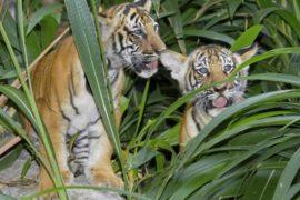 В Таиланде добились роста популяции индокитайских тигров