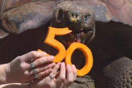 Огромная черепаха отпраздновала юбилей в зоопарке Перта