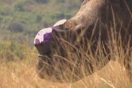 Носорогам спиливают рога для защиты от браконьеров