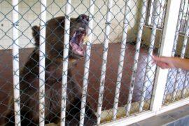 Спасённые в Албании медведи начали новую жизнь в Косове